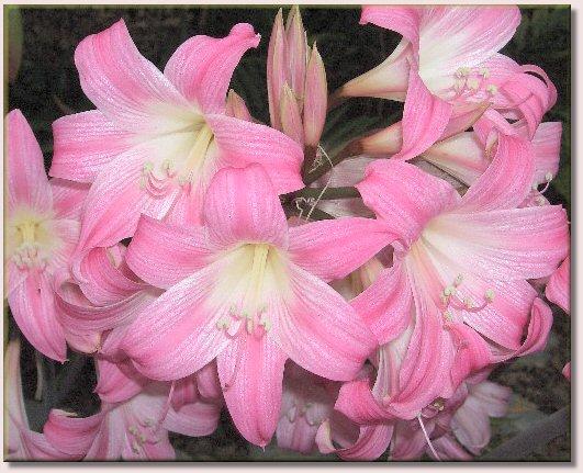amaryllis belladonna belladonnalilie. Black Bedroom Furniture Sets. Home Design Ideas