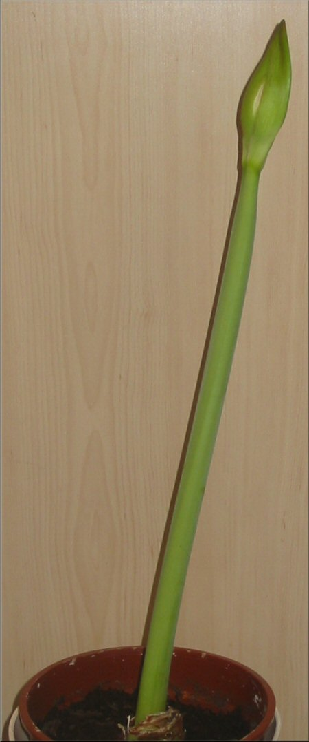 amaryllis charisma 2009 mein amaryllis tagebuch ber meine charisma. Black Bedroom Furniture Sets. Home Design Ideas