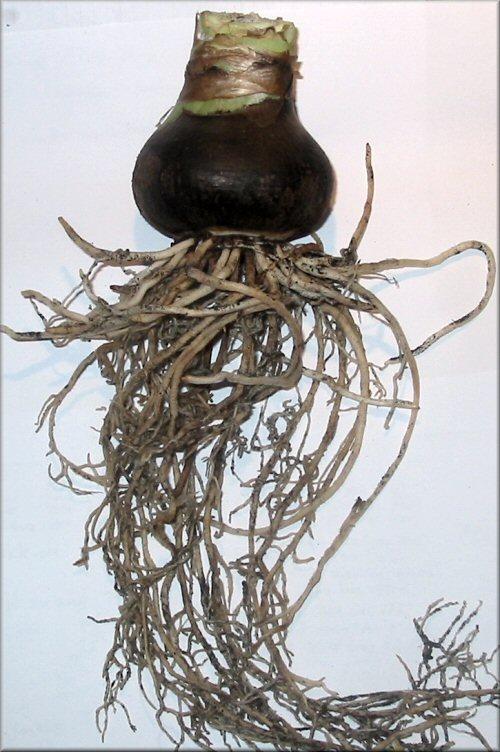amaryllis charisma mein amaryllis tagebuch ber meine. Black Bedroom Furniture Sets. Home Design Ideas