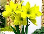 amaryllis liebhaber amaryllis pflege amaryllis forum. Black Bedroom Furniture Sets. Home Design Ideas