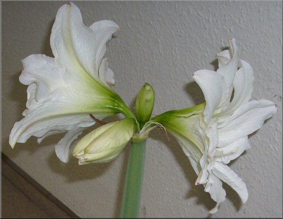 wei e amaryllis blanc amaryllis white amaryllis weisse amaryllis tagebuch. Black Bedroom Furniture Sets. Home Design Ideas