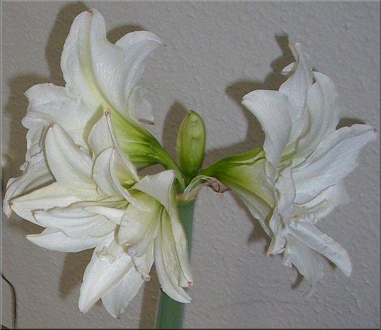 wei e amaryllis blanc amaryllis white amaryllis. Black Bedroom Furniture Sets. Home Design Ideas